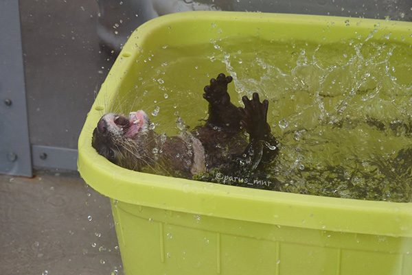 Otter Gets Very Excited About Water 4