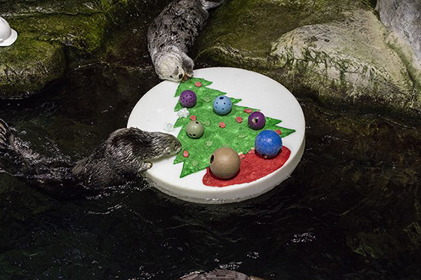 Shedd Aquarium's Sea Otters Celebrated Christmas with a Raft Full of Fun