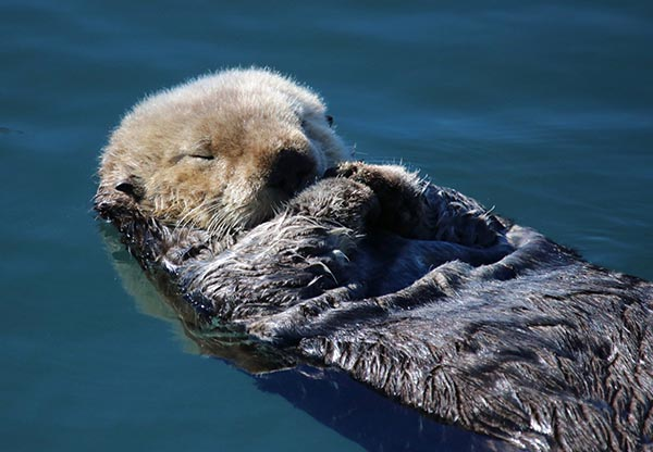 What Could Be More Peaceful Than a Sleeping, Floating Sea Otter?