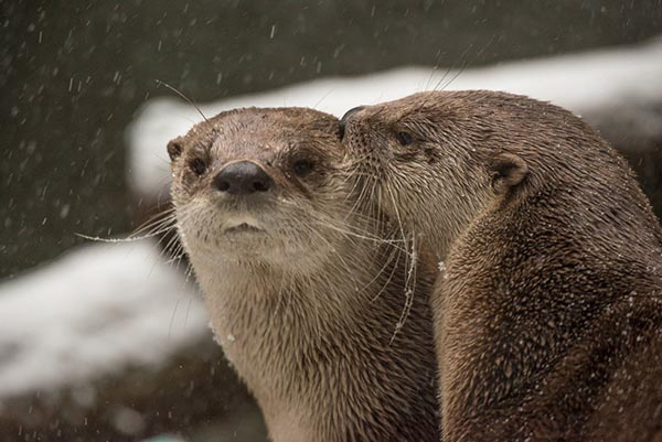 Otter Whispers Sweet Nothings in His Friend's Ear