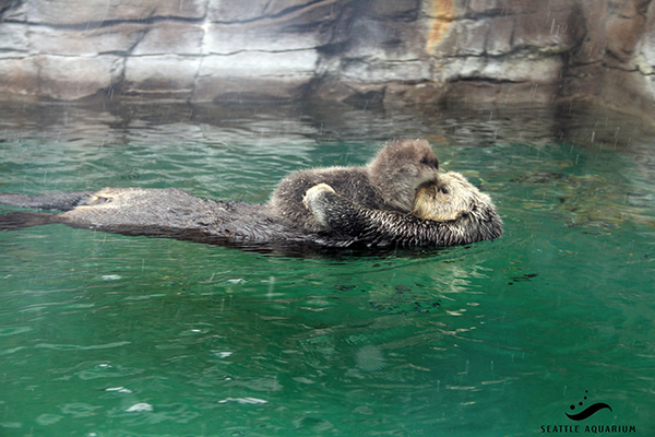 Sea Otter Pup Rests Her Head on Her Mother's Nose