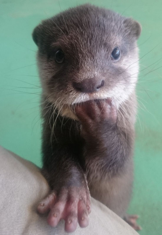 Otter Pup's Got Coyness Down