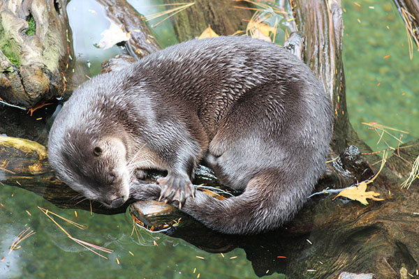 It's So Comforting for Otter to Nap with His Tail in His Mouth