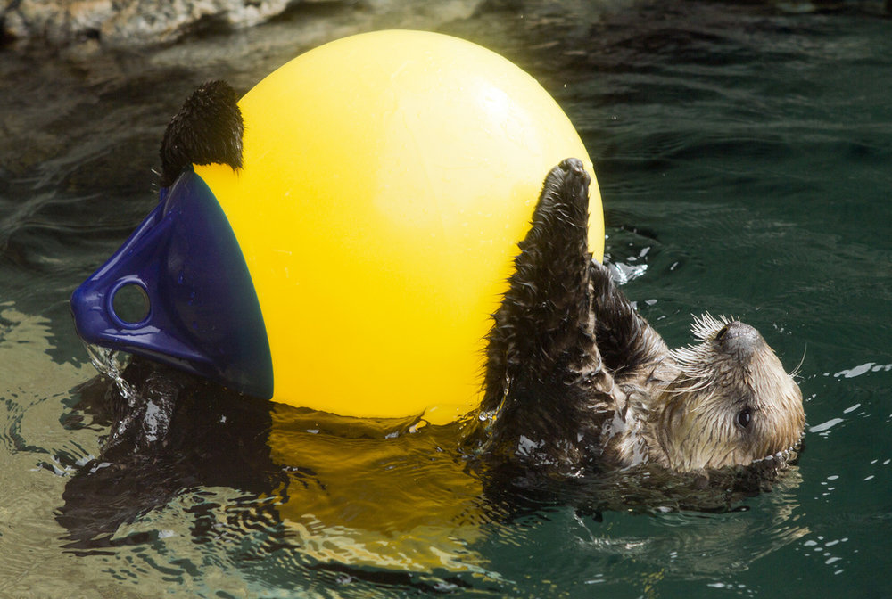 Otter Pup Sekiu Hogs the Toys