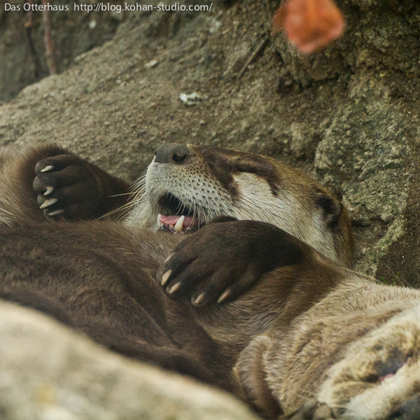 Otter Sleeps with a Friend as a Blanket