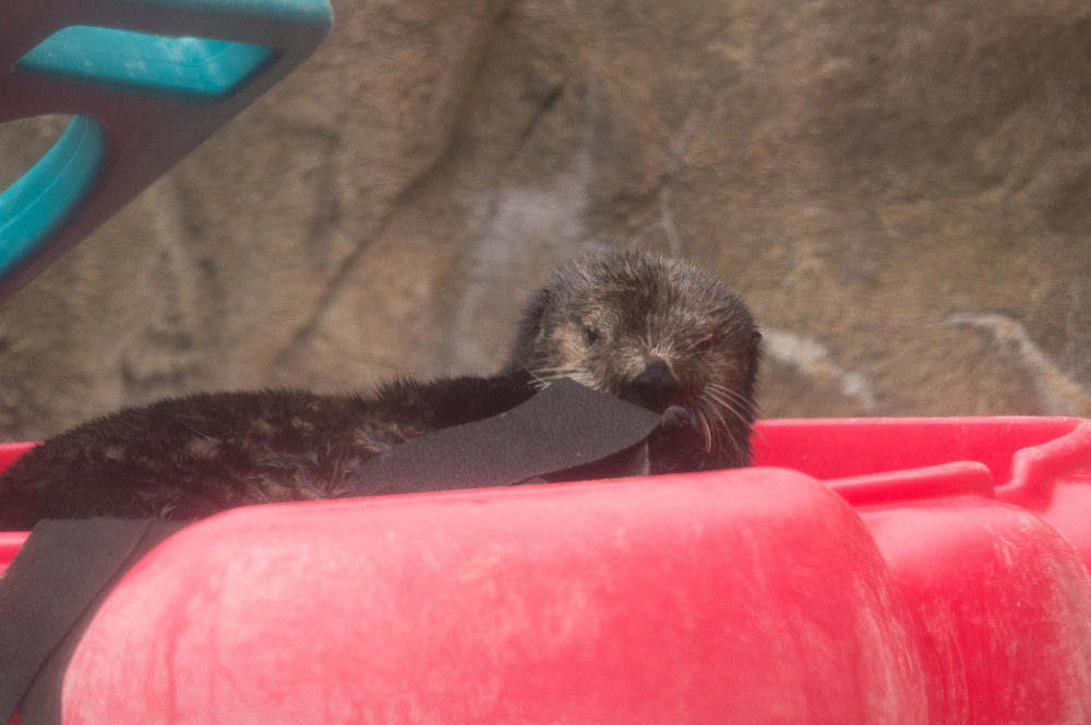 Little Otter Hangs Out in Her Plastic Pool