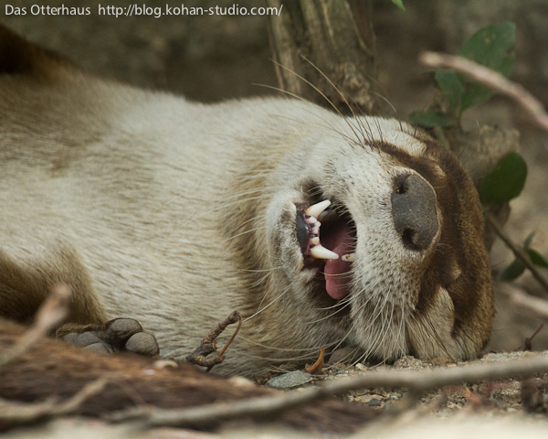 Tired Otter Is Totally Conked Out