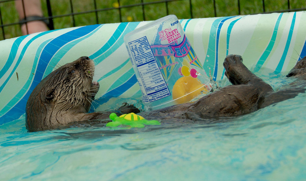 Otter Relaxes in the Puppy Pool