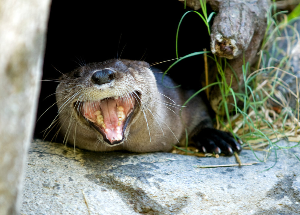 Otter Laughs at His Own Joke