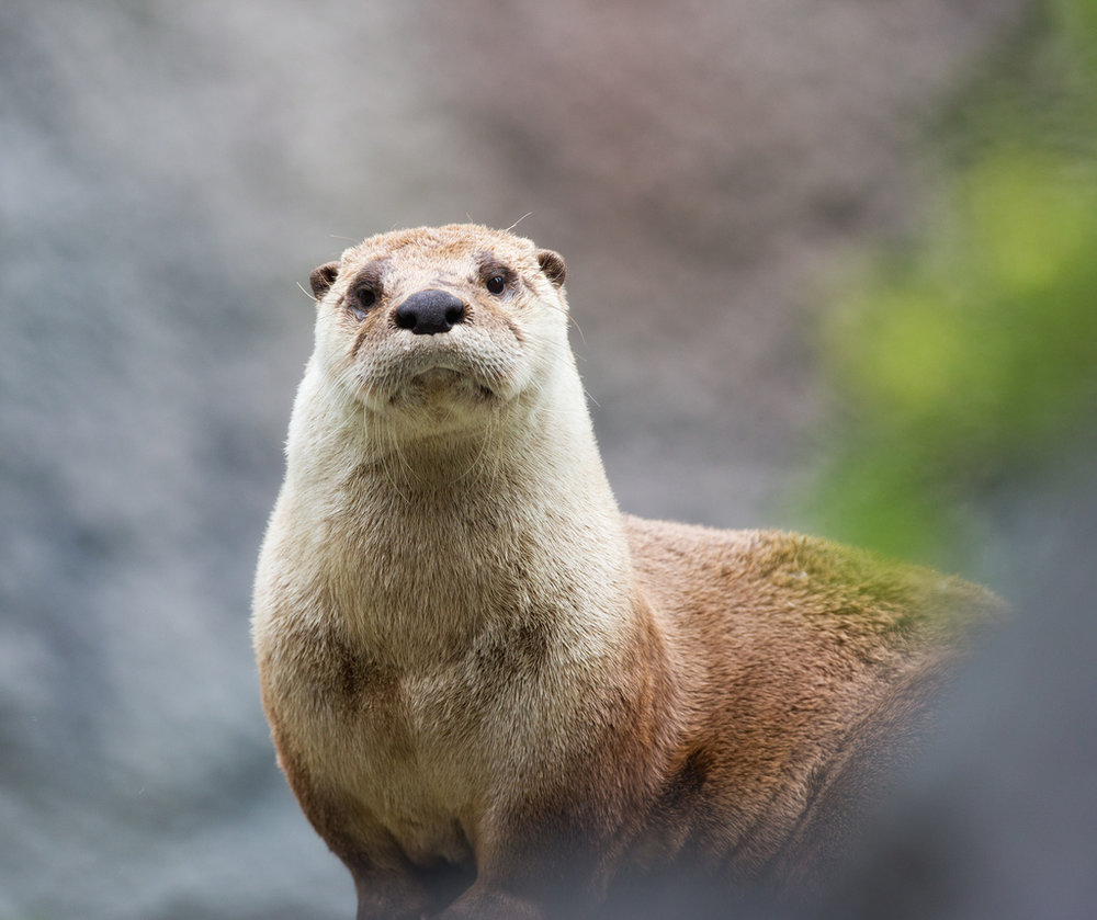 Curious Otter Watches Photographer