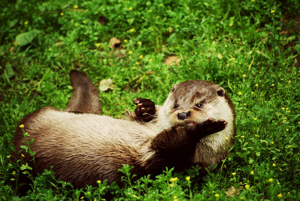 Otter Rolls in the Grass