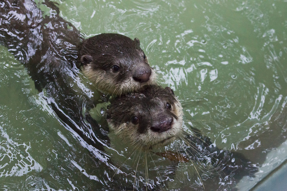 Inseparable Otters Even Swim Together