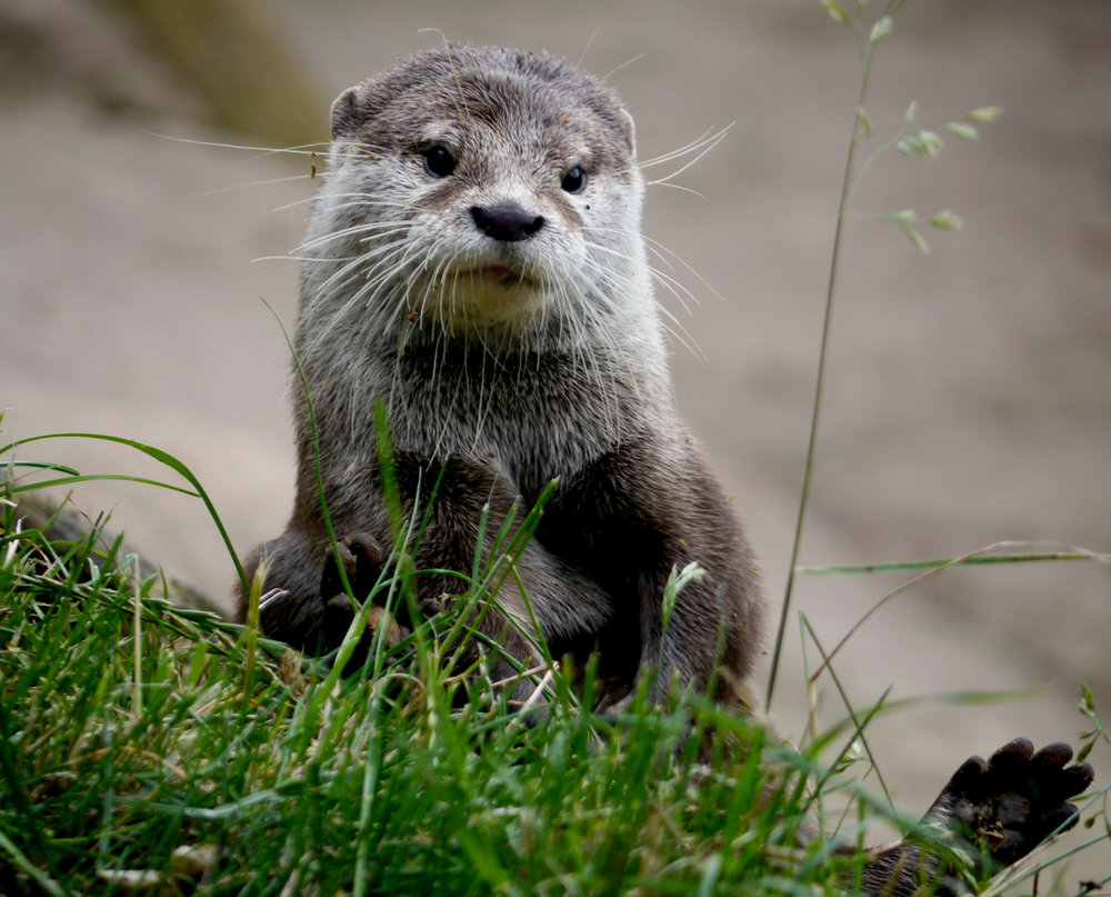 Otter Sits Cutely