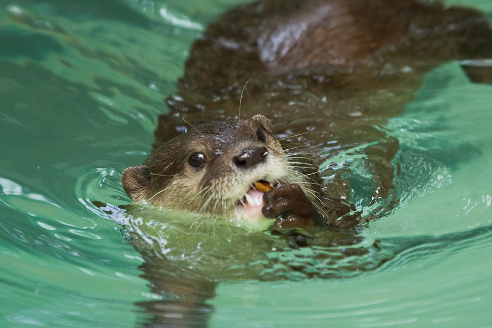 Otter Nibbles on a Leaf Mid-Swim