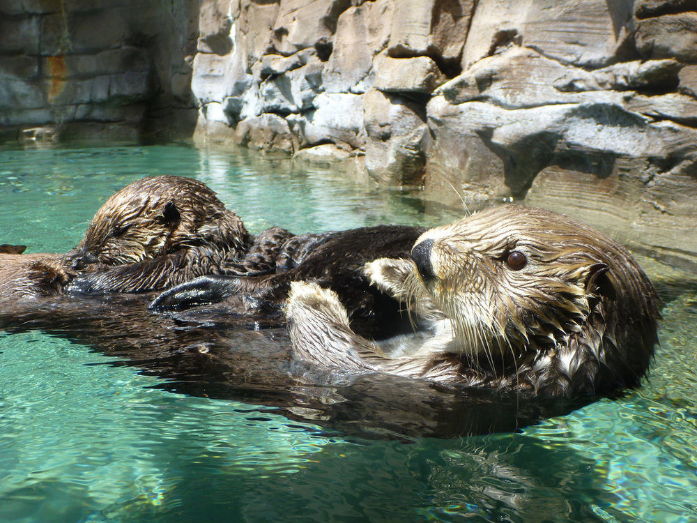 Mother Sea Otter Floats with Pup on Belly