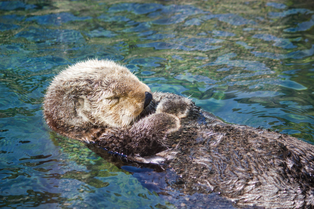 Snoozing Sea Otter