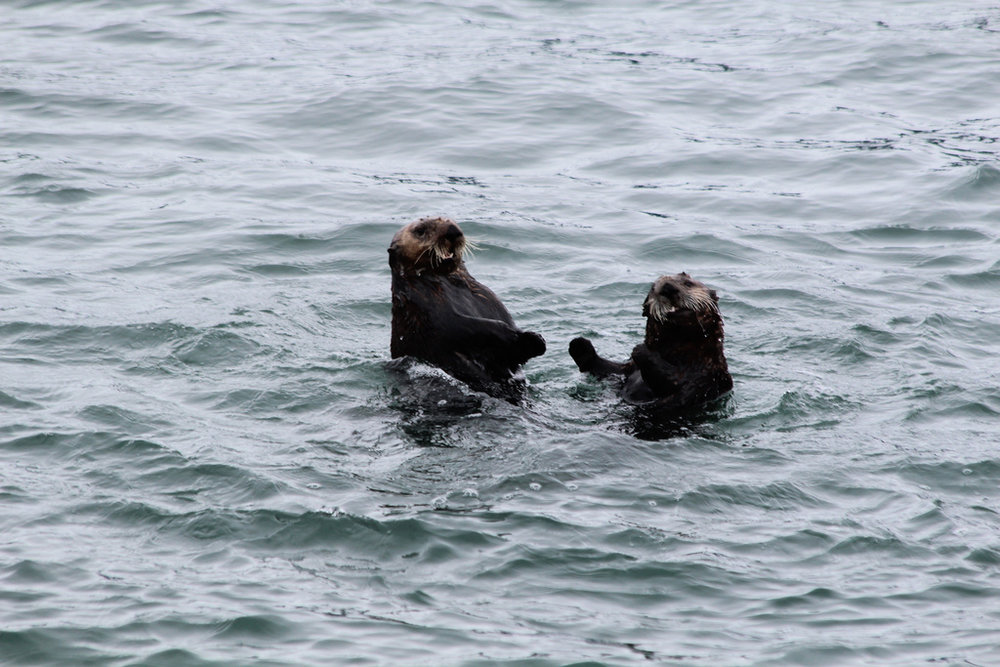 Otters Frolic and Play in the Water