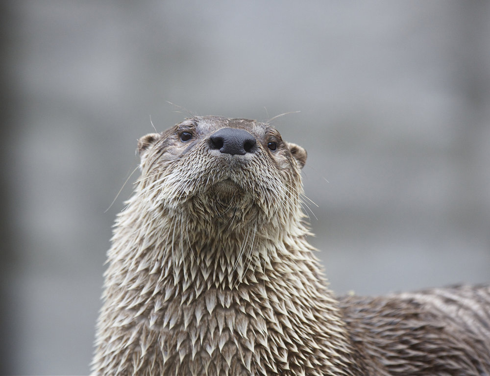 Otter Looks Stern and Proud