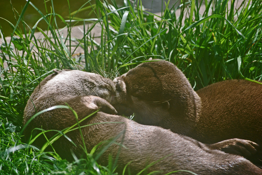 Otters Share a Lazy Kiss