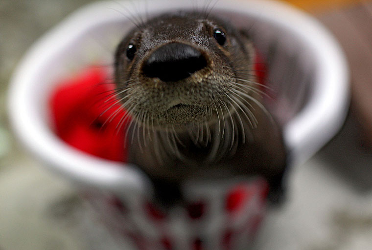 Virginia Aquarium Takes in Abandoned Otter Pup!