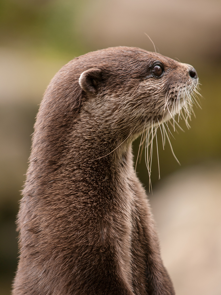 Otter Turns for His Mugshot