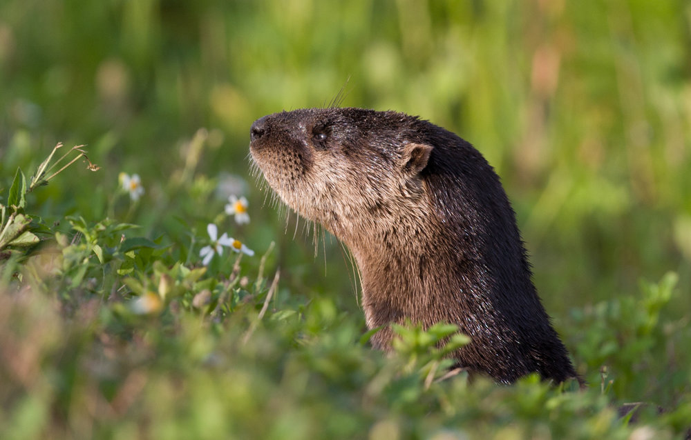 Otter Peeks Out from the Grass