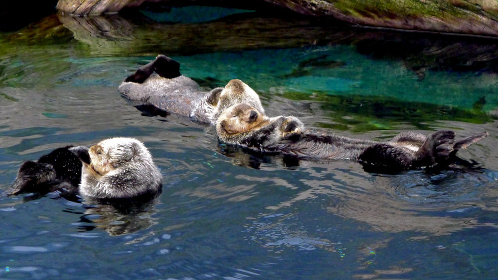 Otters Quietly Float Together