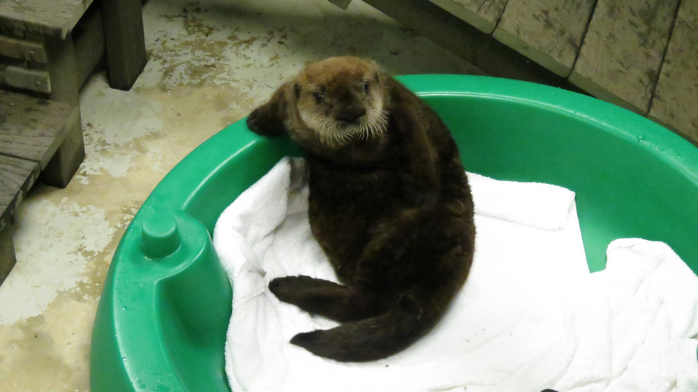 Sea Otter Pup Lounges