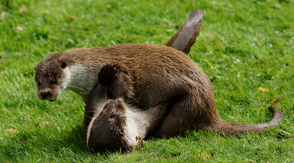 Otter Wrestling Match
