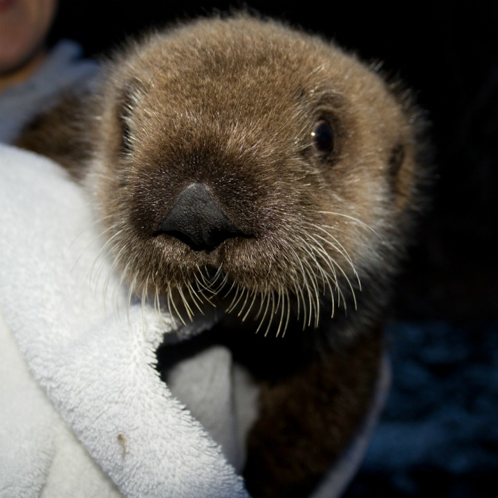 Safe Haven for Newborn Alaskan Sea Otter
