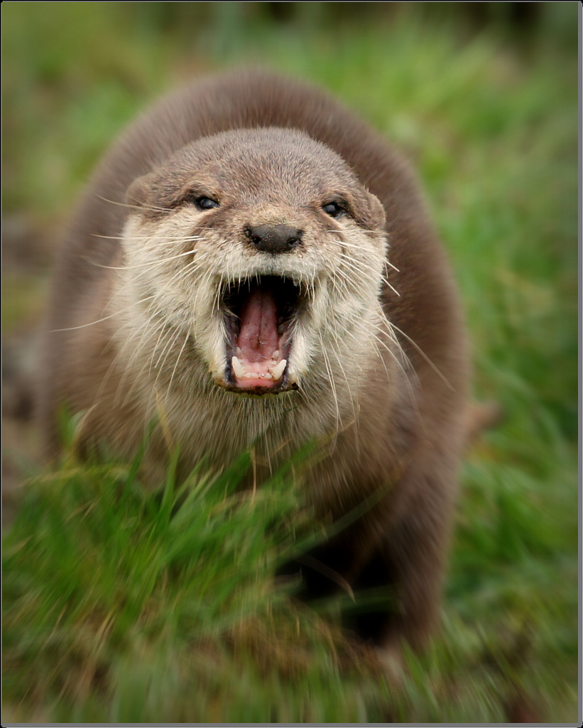 Otter Roar