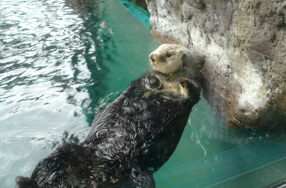 Sea Otter Is Unaware of How Cute She Is