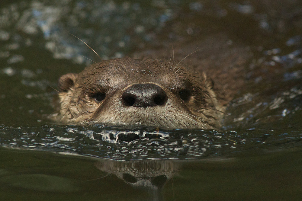 Otter Does His Alligator Impression