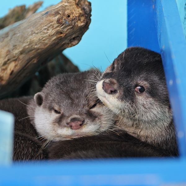 Otters Snuggle Contentedly