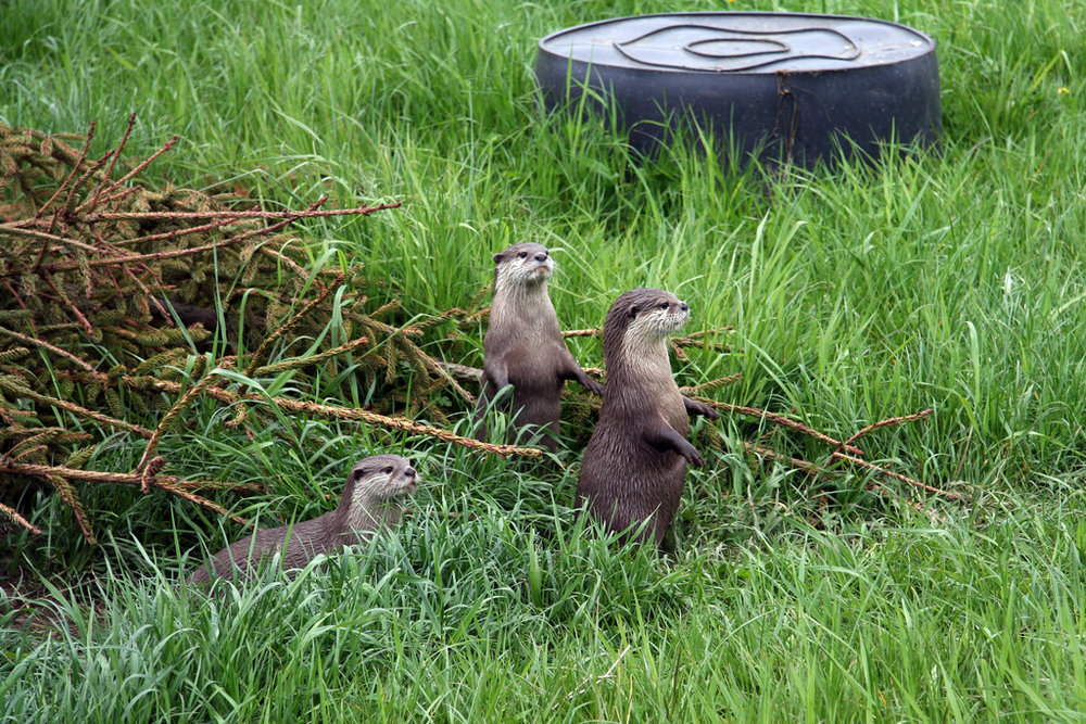 Otters on Lookout