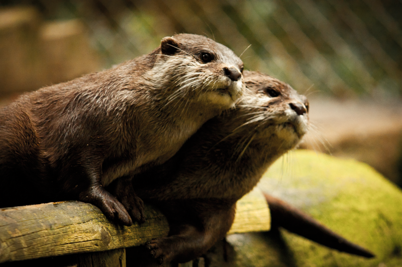 Something Catches Otters' Attention