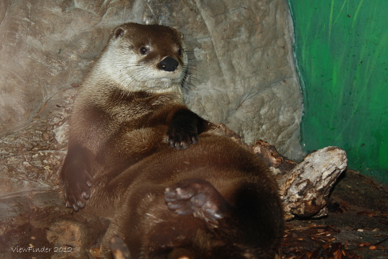 Lounging Otter