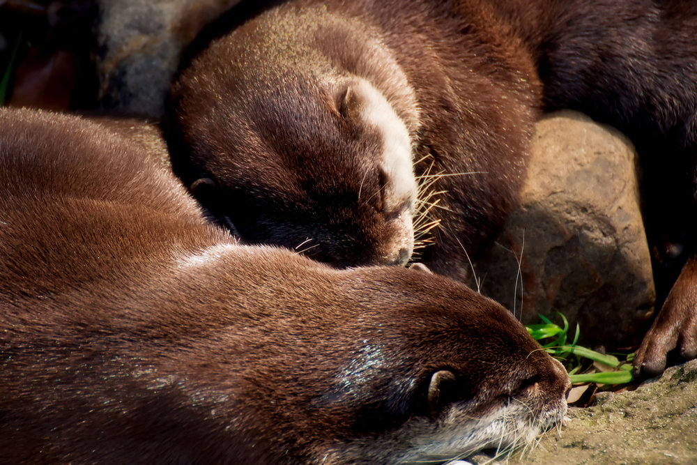 Napping Otters