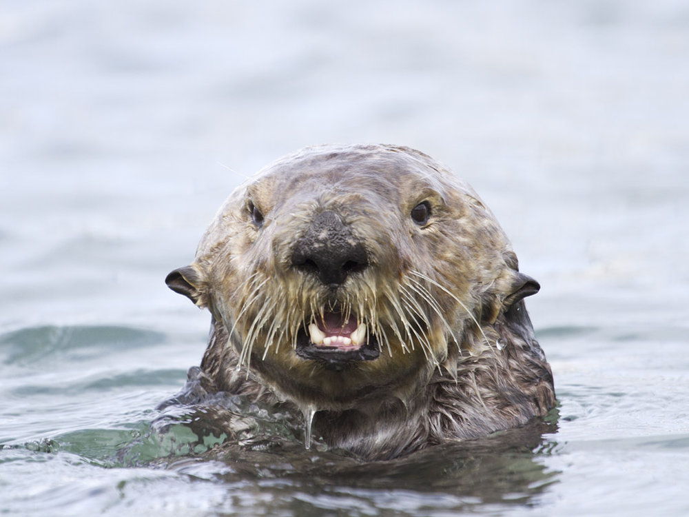 Waterlogged Otter Is Surprised to See You