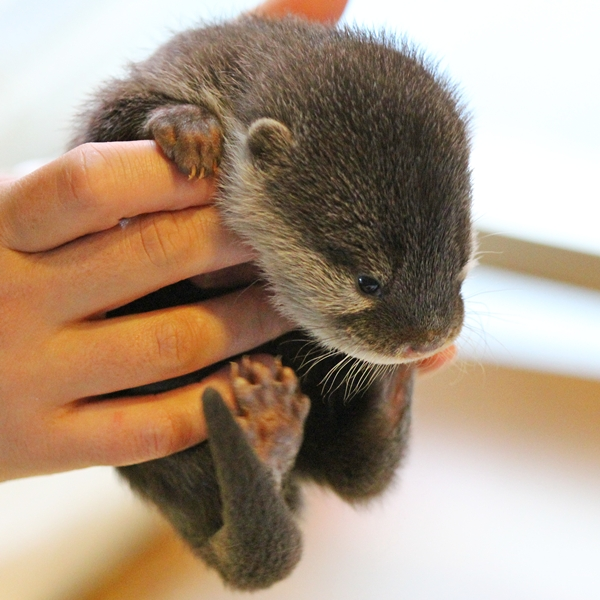 Baby Otter Can Curl into a Fluffy Ball 2