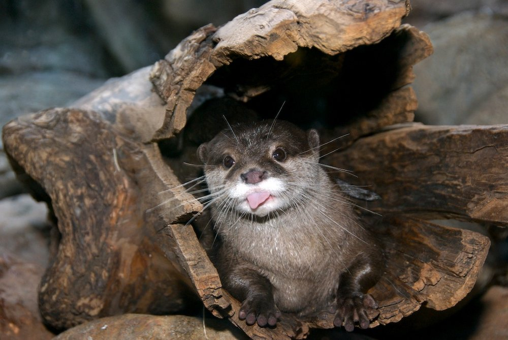 Cheeky Otter Sticks Out His Tongue at You