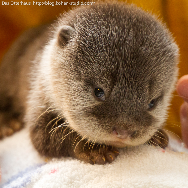 Baby Otter Gives a Coy Look