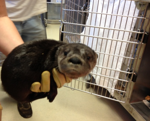 Baby Otter at Clinic for Rehabilitation of Wildlife