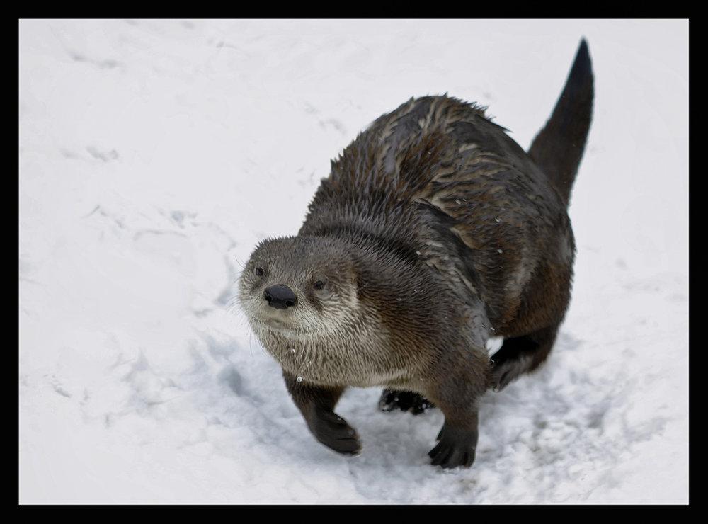 Otter Runs Through the Snow