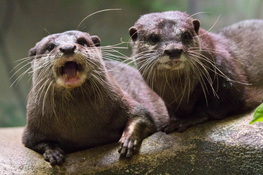 Otters Heckle Passersby