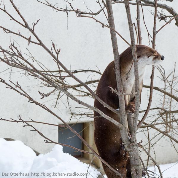 Otter Climbs a Tree 2