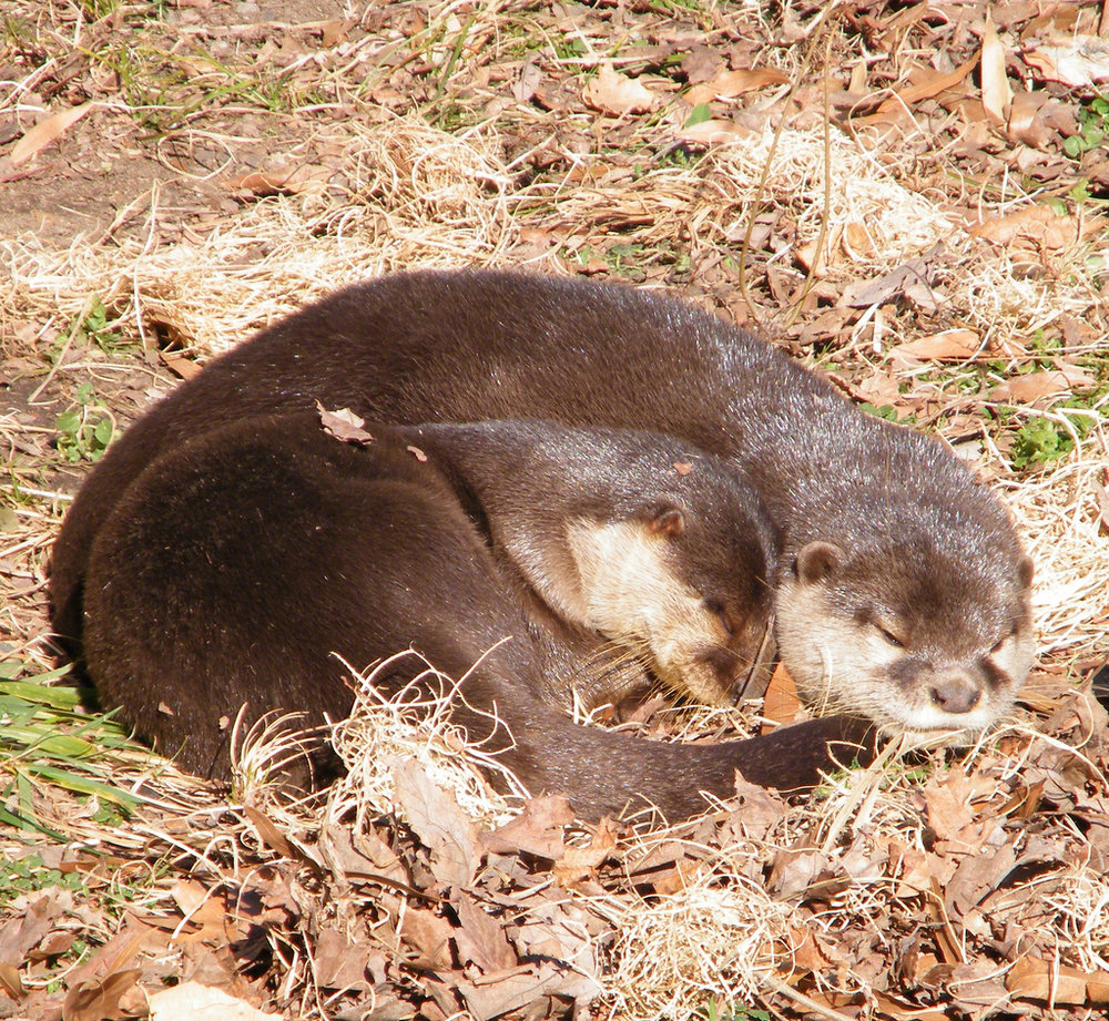 Otters Take a Nap in the Sun