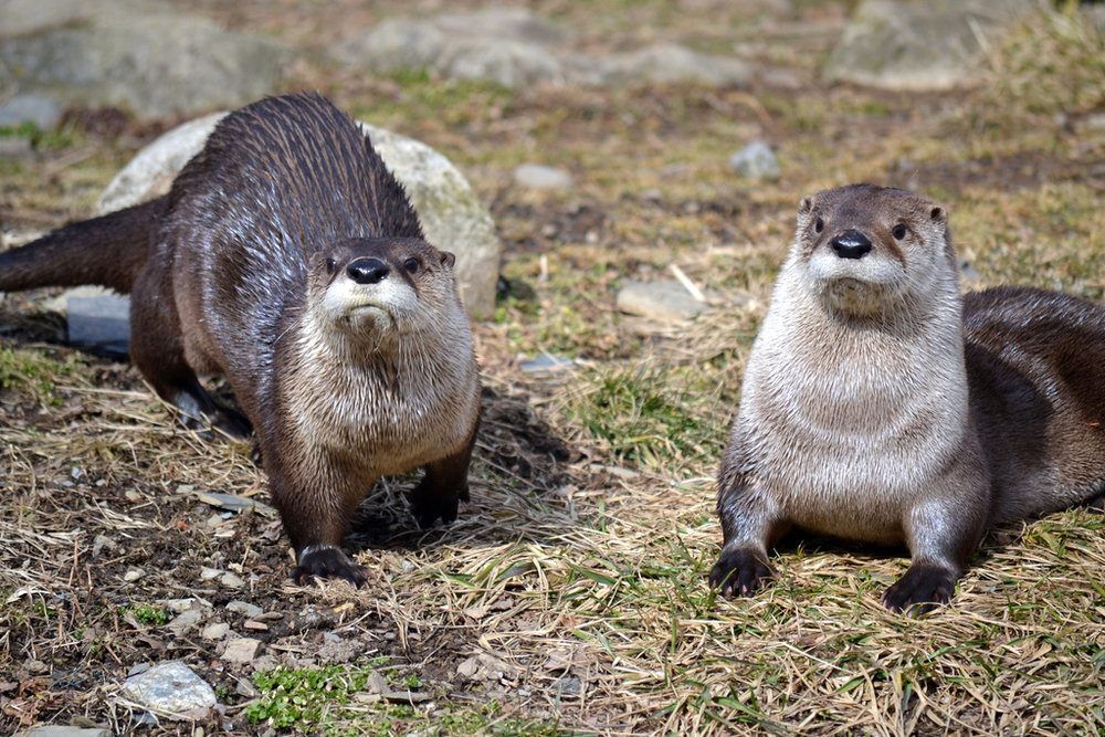 Otters Han and Leia Pose for Photos