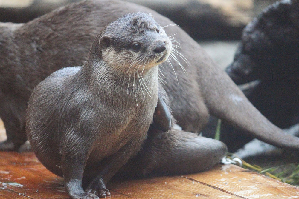 Otter Is on His Best Behavior