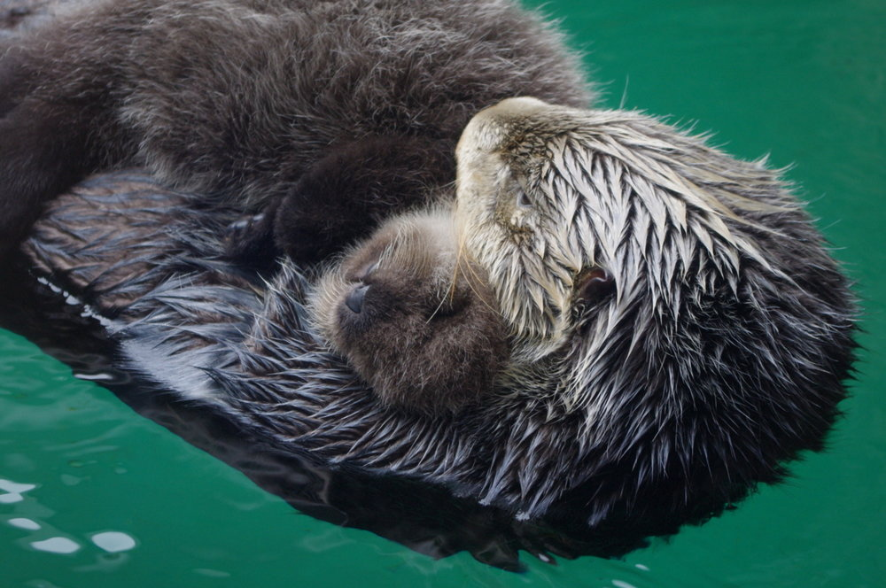 Mother Otter Cuddles Baby
